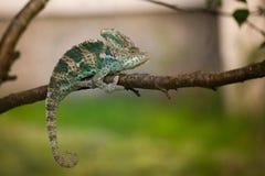 Yemeni chameleon on the branch. Veiled Yemeni chameleon is walking on a tree branch Royalty Free Stock Images