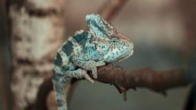 Yemeni chameleon on the branch. Veiled Yemeni chameleon is walking on a tree branch Royalty Free Stock Photo