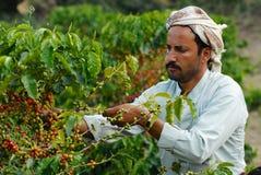 Yemeni landbouwer verzamelt arabica koffiebonen bij de aanplanting in Taizz, Yemen Stock Afbeeldingen