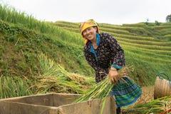 Yen Bai, Вьетнам - 17-ое сентября 2016: Пади въетнамской женщины этнического меньшинства молотя на террасном поле во времени сбор Стоковое фото RF