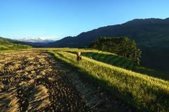 Yen Bai, Vietnam - Sep 18, 2017: Terraced rice field in harvest season with ethnic minority man carrying rice bag on the field in. Mu Cang Chai, Vietnam Stock Image