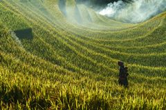 Yen Bai, Vietnam - Sep 18, 2017: Terraced rice field in harvest season with ethnic minority woman on the field in Mu Cang Chai, Vi. Etnam Royalty Free Stock Photography