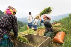 Yen Bai, Vietnam - Sep 17, 2016: Vietnamese ethnic minority woman threshing paddy on terraced field in harvesting time in Mu Cang Stock Photos