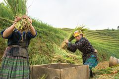 Yen Bai, Vietnam - Sep 17, 2016: Vietnamese ethnic minority woman threshing paddy on terraced field in harvesting time in Mu Cang Royalty Free Stock Photo