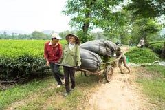 Yen Bai, Vietnam - 16 settembre 2016: Foglia di tè di trasporto degli agricoltori dalla casa della piantagione in carretto nel di Fotografie Stock