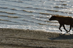Yena running in a lake Stock Image