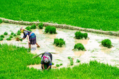 YENBAI, ΒΙΕΤΝΆΜ - 18 Μαΐου 2014 - εθνικοί αγρότες που φυτεύουν το ρύζι στους τομείς Στοκ Φωτογραφίες