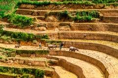 YENBAI VIETNAM - MAJ 19, 2014 - bönder som plogar terrasserna med bufflar Arkivfoton