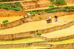YENBAI VIETNAM - MAJ 16, 2014 - en oidentifierad etnisk bonde som plogar fälten med en buffel Royaltyfria Foton