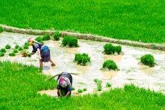 YENBAI VIETNAM - MAJ 18, 2014 - etniska bönder som planterar ris på fälten Arkivfoton