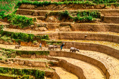 YENBAI, VIETNAM - MAY 19, 2014 - Farmers plowing the terraces with buffaloes. Stock Photos