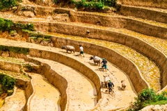 YENBAI, VIETNAM - MAY 19, 2014 - Farmers plowing the terraces with buffaloes. Stock Images