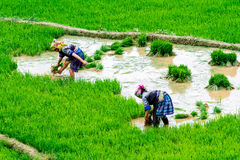 YENBAI, VIETNAM - MAY 17, 2014 - Unidentified ethnic women transplanting rice on the fields. Royalty Free Stock Photo