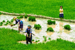 YENBAI, VIETNAM - MAY 17, 2014 - Unidentified ethnic women transplanting rice on the fields. Royalty Free Stock Photography