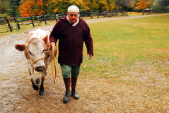 Yending the cows. A Cow is Brought for Milk at a historic farm is Upstate New York Royalty Free Stock Images