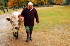 Yending las vacas imágenes de archivo libres de regalías