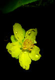 Yentu Ochna flower in night Royalty Free Stock Photo