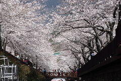 Yeojwacheon Romance Bridge. Yeojwacheon sakura trees Romance Bridge Royalty Free Stock Photos
