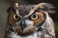 Yep, that's Mr. Owl to you. Stock Image