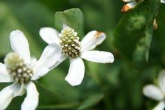 Yerba Mansa, Anemopsis californica Royalty Free Stock Image