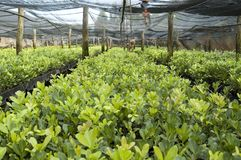 Yerba Mate Plantation. Argentinean Yerba mate seedlings in a plantation stock photography