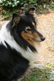 Yes Please?!. Portrait of a resting british tri-color collie, female, 6 years old Stock Photography