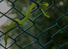 Red tailed bamboo pit viper. From sunderbans westbengal India Royalty Free Stock Photo