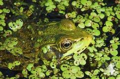 Yeux 1 de grenouille Photographie stock libre de droits