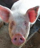 Yeux bleus de porc photos stock