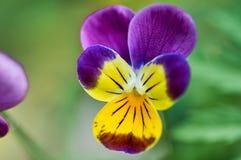 Yeux d'Anuta dans le jardin Fleur violette Images libres de droits