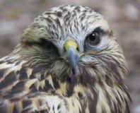 Yeux d'un faucon Photo libre de droits