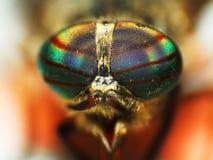 Yeux d'un insecte plan rapproché de tête de mouche de cheval Photo libre de droits