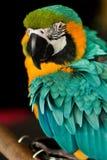 Yeux d'un perroquet Photos libres de droits