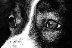 Yeux de chien Photo libre de droits