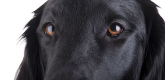 Yeux de chiens Photos stock