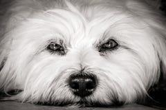Yeux de chiens Photos libres de droits