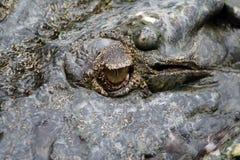 yeux de crocodiles image libre de droits