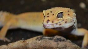 Yeux de gecko Photographie stock libre de droits