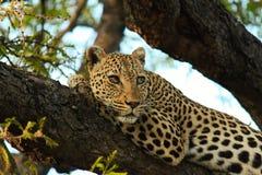 Yeux de léopard Photos libres de droits