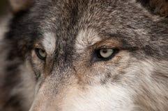 Yeux de loup de bois de construction (lupus de Canis) Photographie stock libre de droits
