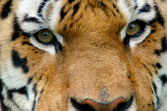 Yeux de tigre Photos stock