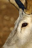 Yeux-deers expressifs Photo stock