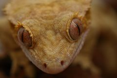 Yeux du gecko photographie stock libre de droits