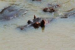 Yeux et oreilles des hippopotames Image libre de droits