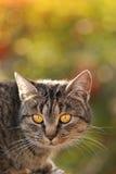 Yeux jaunes d'un chat photographie stock