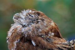Yeux sauvés de hibou fermés Photo libre de droits
