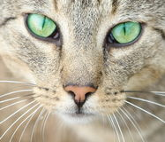 Yeux verts d'un chat. Photographie stock
