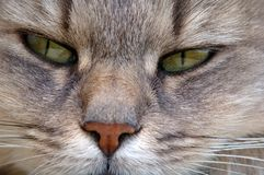 Yeux verts de chat Photos libres de droits