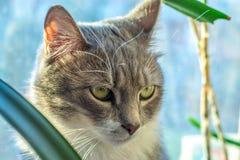 Yeux verts de chat gris Image stock
