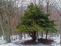 Yew-δέντρο στοκ εικόνα με δικαίωμα ελεύθερης χρήσης